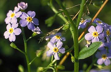 Plant identificationsolved tiny blue flowers yellow center 5 petals httpbiologysuherbariumplants20of20the20interior20highlands flowersmyosotis20scorpioidesg mightylinksfo